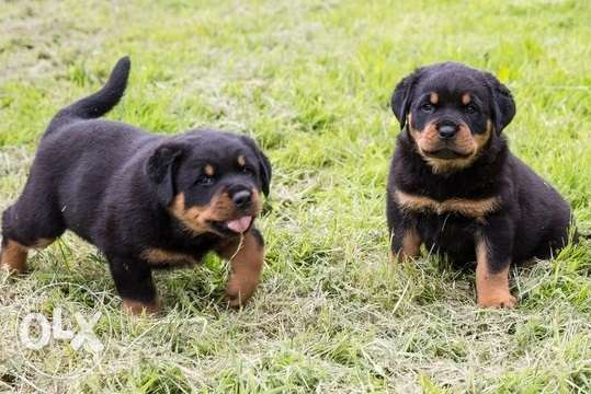 Pure Breed Rottweiler Puppies Available