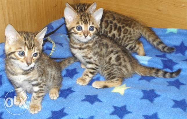 Stunning Rosetted Male and Female Bengal Cats
