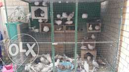 Doves with Cage for Sale