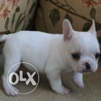 Bulky French bulldog puppies for sale