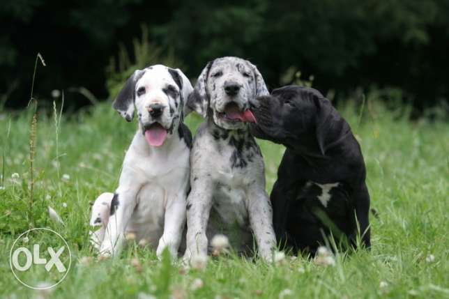 Train Great Dane Dogs For Sale