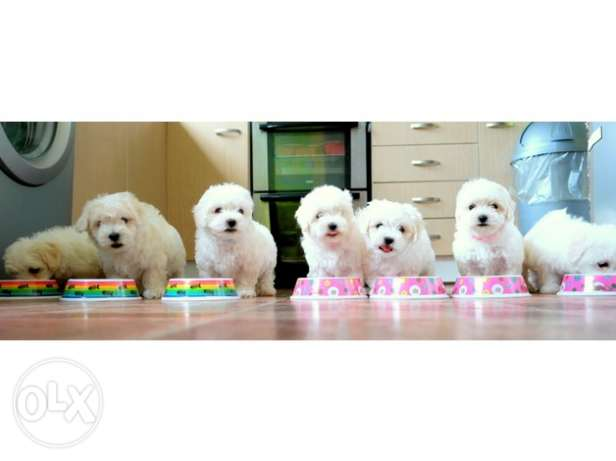 Micro cute Maltese puppies for adoption.