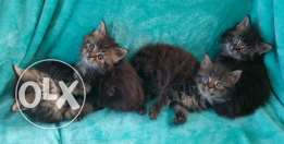 13 weeks Pedigree Maine Coon Kittens For Sale