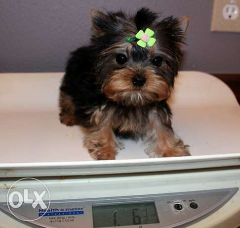 Adorable Cute Yorkie Puppies Available