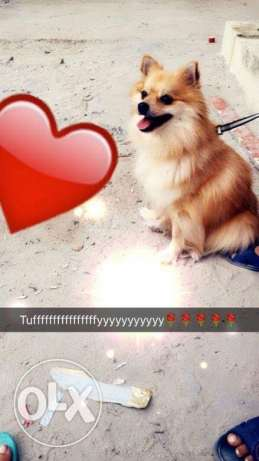 Play full puppy for sale breed pomeranian