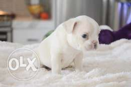 Blue and White French Bulldogs puppies available