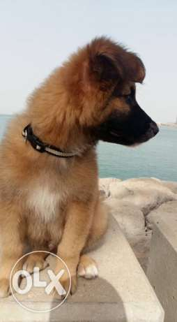 Mixed breed German Shepherd
