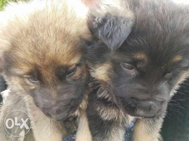German sheperd puppies for adoption with some accessories