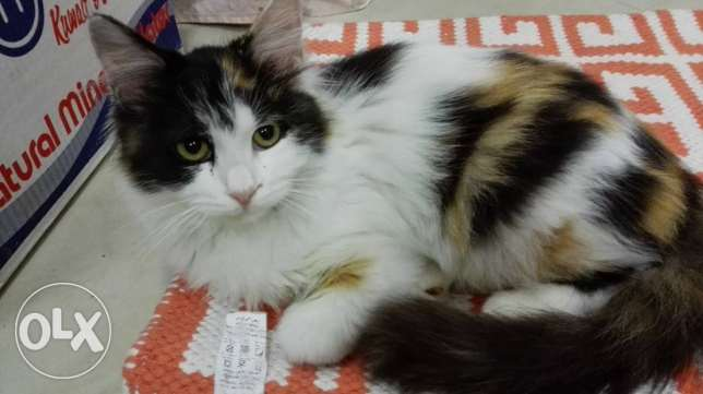 Calico Ragdoll Cat looking for caring home كيفان -  1
