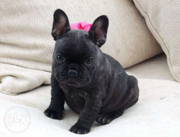 French Bulldogs 3 Available For a New Home
