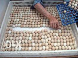 Top quality Parrots and Parrot Eggs available for sale
