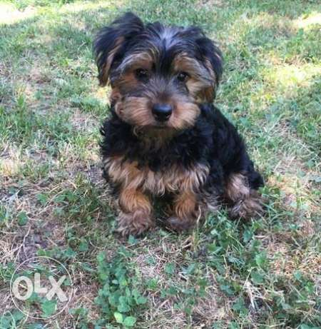 Pretty Yorkie Puppies Available