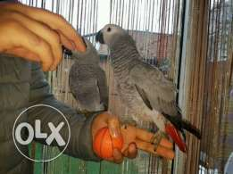 Special African grey parrots for sale