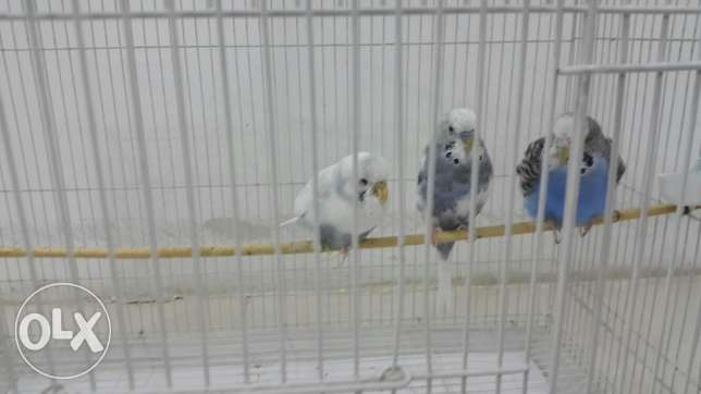 Love birds 3 nos with cage for 6kd