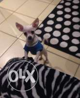 chihuahua dog for sale 300 kd
