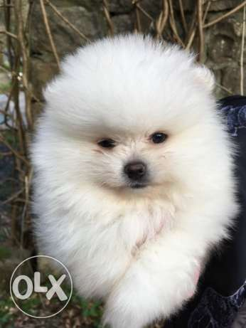 Stunning Litter Of Pedigree Pomeranian Puppies
