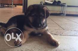 German shepherd puppy for sale .