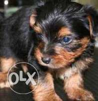 Yorkie Puppies Ready for Adoption