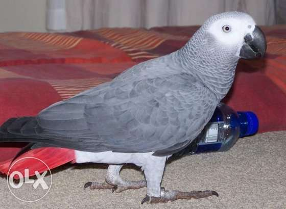 Pair Of African Grey Parrots, Male And Female