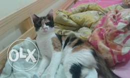 A female cat for adoption 1 year only whatsaap