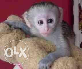 We have two cute Capuchin Monkeys available