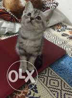 Persian Tabby Mix Kitten for sale