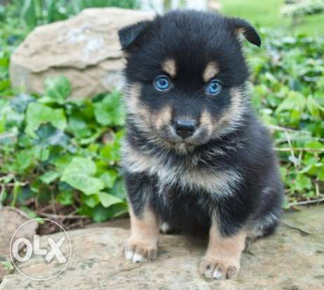 Stunning Pomsky Puppies For Sale