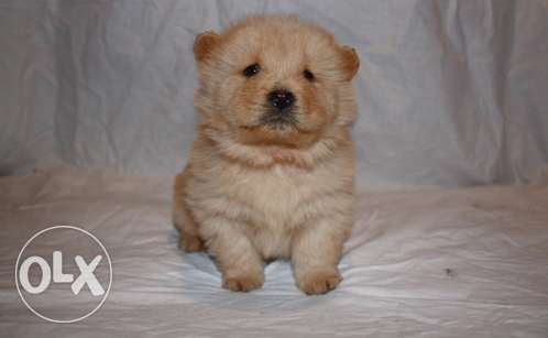 Adoptable Male and Female Chow Chow Puppies for Sales