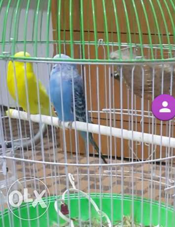 Budgies/lovebirds/parakeets
