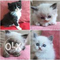 4 Persian/British short hair 40 days old kittens for sale