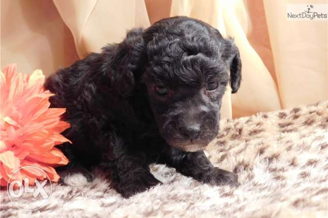 Toy cute Poodle Puppies for sale