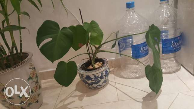 Big mature and healthy natural plants for sale. العقيلة -  3
