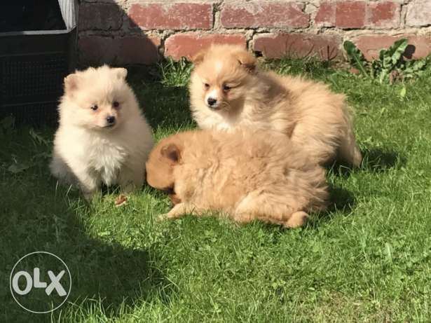 Small Type** Outstanding Rare Litter Pomeranian
