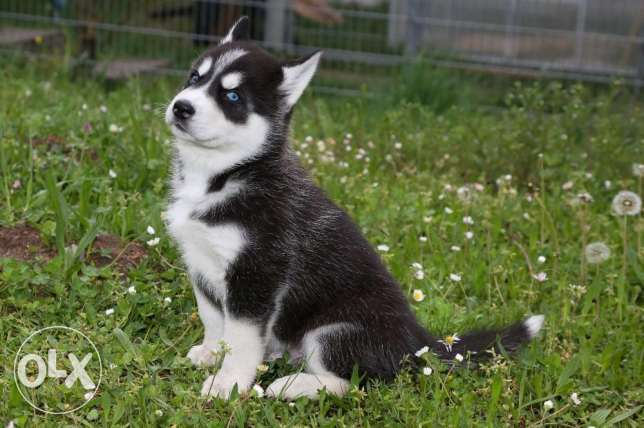 Outstanding Pure Bred Siberian Husky Puppies