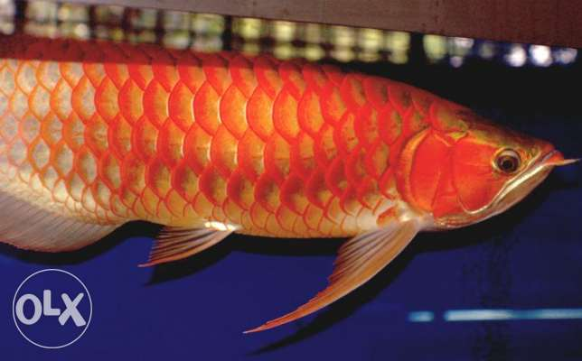 Red and Golden Asian Arowana Fish.