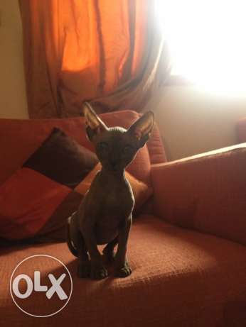 sphinx cat ,قطة فرعوني