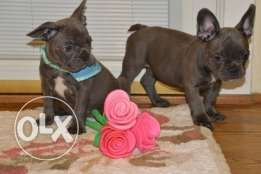 Blue Eyes French Bulldog Puppies