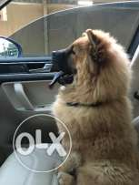 Chow chow 5 month