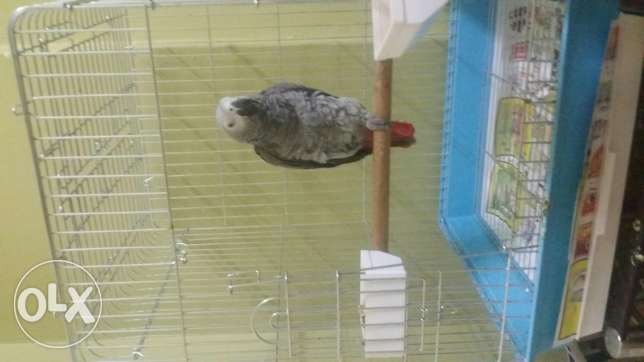 African Grey for sale!!