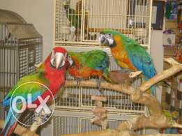 Fertile Parrots Hatching Eggs, Parrot Chicks and Parrots For Sale