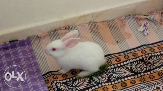 rabbit (white)