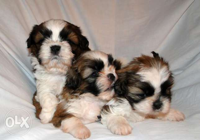 adorable maltese puppies for rehoming