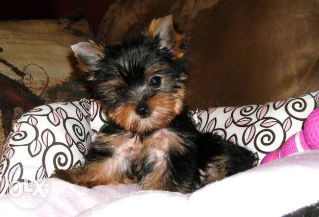 TEACUP Yorkshire terrier 4months old