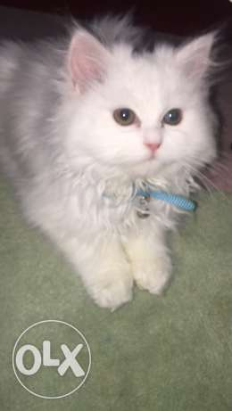 A male 4 months old Persian cat for sale! Potty trained, vaccinated. for sale
