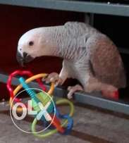 Beautiful and Friendly African Grey for Sale
