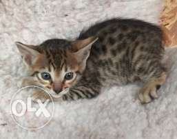 Bengal home trained kittens