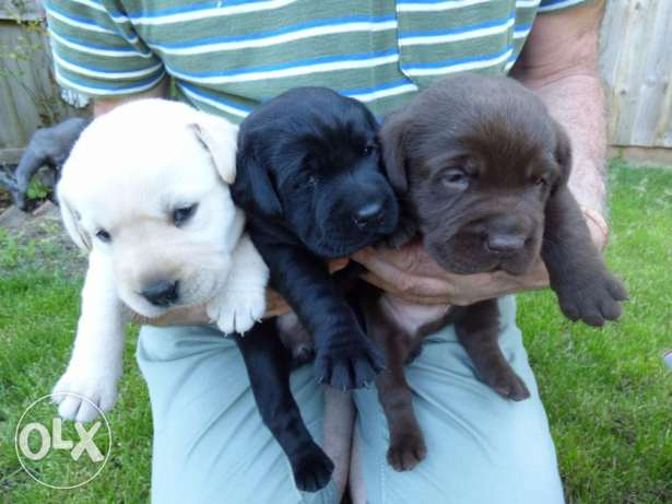 Labrador Puppies Ready for Nice Homes