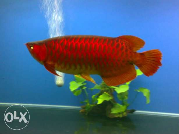 Mystical Gorgeous Asian Red and Golden Arowana Fish.