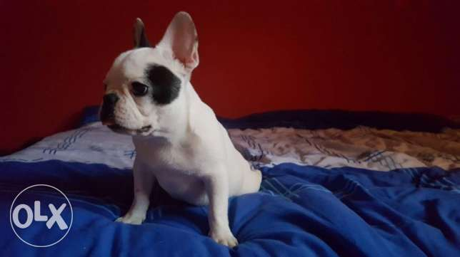 frenchie for a good home
