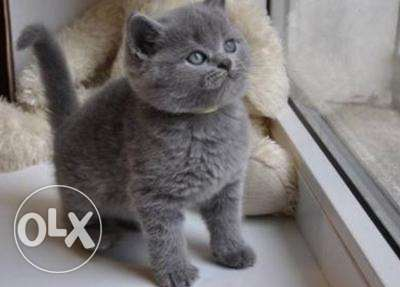 Cute British Short Hair Kittens Available